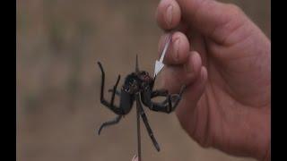 Man Kills Monster Tarantula with the Blow gun!!