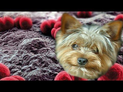 Менингит у собак | Причины | Симптомы | Лечение.