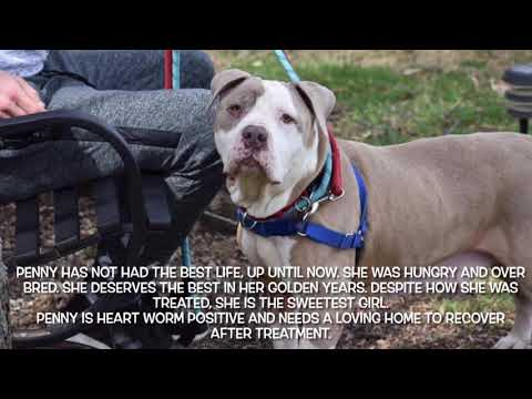 Penny ( I have a video), an adoptable American Bulldog Mix in Highland, MD_image-1