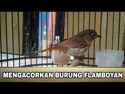 Gambar Burung Flamboyan Jantan