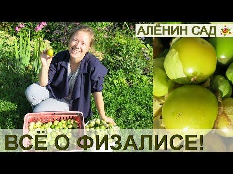 Выращивание физалиса за 5 минут! От посева до сбора урожая