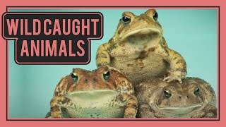 5 Reasons You Should NOT Keep Wild Caught Reptiles
