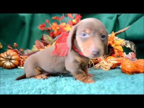 Apollo AKC Chocolate Tan Miniature Dachshund Puppy for sale.