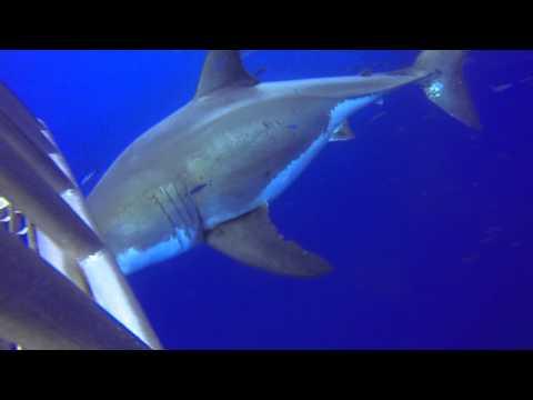 Nautilus Explorer 2013 - Die weissen Haie von Guadalupe, Guadalupe,Mexiko