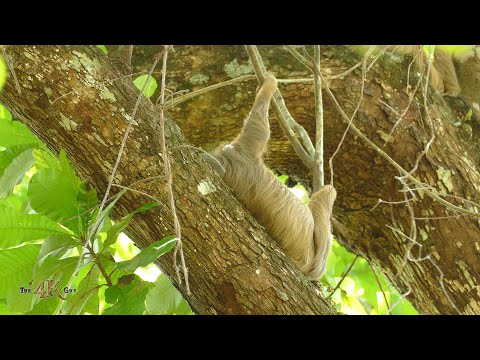 Panama: Sloths are our furry friends from the rainforest