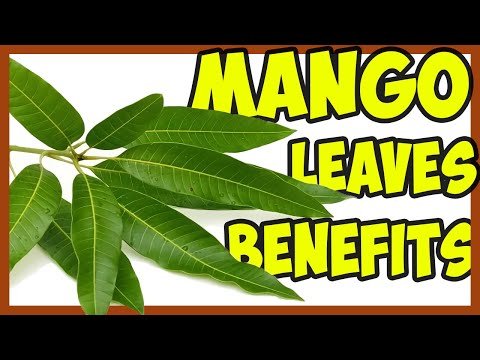 Video These 10 Medicinal Properties Of Mango Leaves Will Amaze You!
