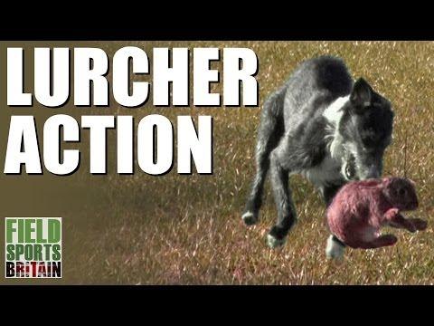 Fieldsports Britain – Lurcher action