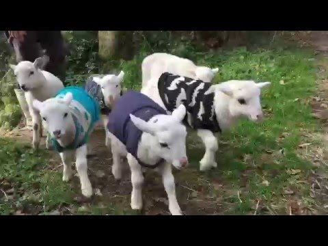 Ridiculously cute rescued lambs living happy and free