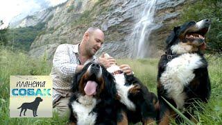 Бернский зенненхунд. Планета собак 🌏 Моя Планета