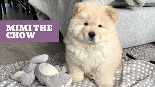 MIMI THE BABY CHOW CHOW - My First Week At Home!
