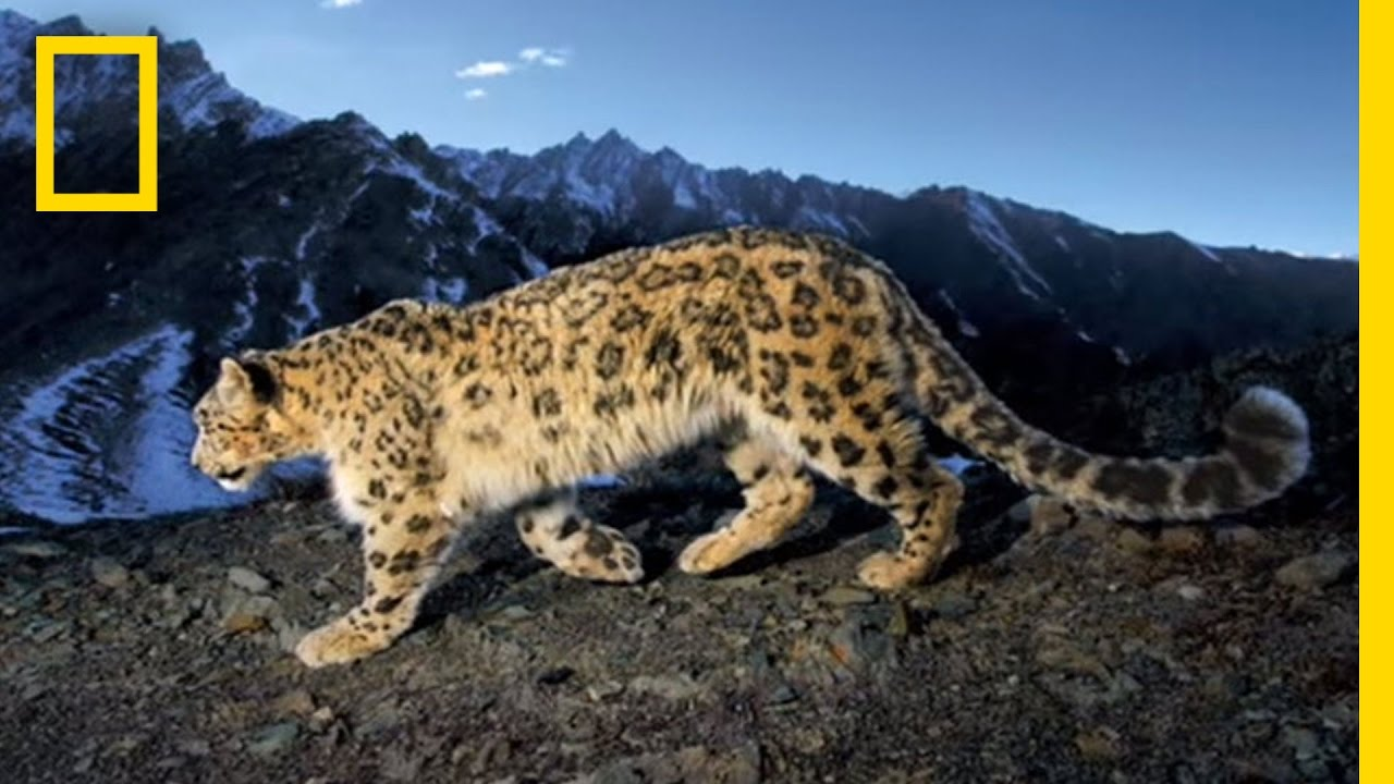Searching for the Snow Leopard | National Geographic thumbnail