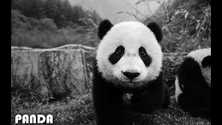 Imagine Dragons   Thunder (Panda Parody)