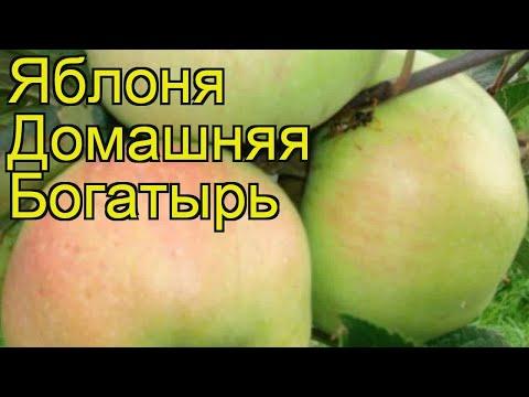 Яблоня домашняя Богатырь. Краткий обзор, описание характеристик malus domestica Bogatyr