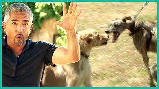 Cesar Millan Helps An Aggressive Greyhound
