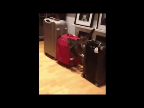 Кошка решила забраться в сумку