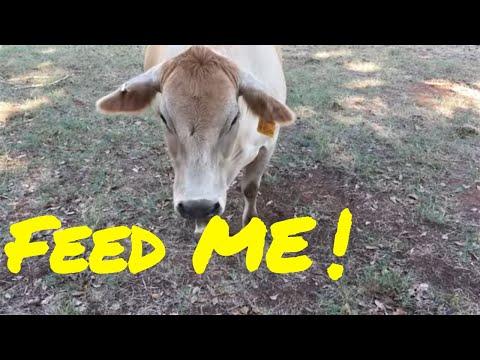 🌽WILL COWS EAT CORNSTALKS❓ 🌽 WHADDYA THINK❓🌾