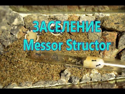 Муравьиная ферма (Формикарий) Заселение Messor Structor (1 часть). ANT FARM
