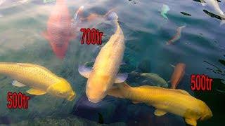Hồ Cá Koi 22 tỷ và 3 con cá Koi Vàng 1tỷ7 ở công viên Cá Koi Nhật Bản Rin Rin Park
