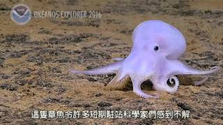 直擊深海章魚,魅幻飄忽 | Kholo.pk