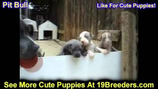 Pit Bull, Puppies, For, Sale, In, Minneapolis, Minnesota, MN, Inver Grove Heights, Roseville, Cottag