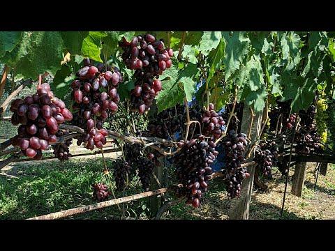 Посадите себе такой сорт винограда. Не пожалеете !!!