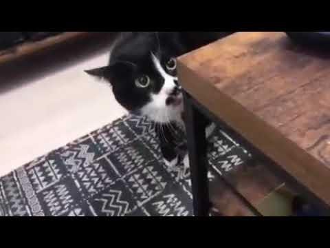 Смешное пение кота