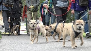 Borderwalk – Border Terrier Im Berner Oberland