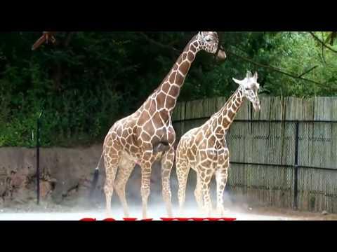 Rare video of  giraffe Mating and Breeding  | Giraffe Giving Birth