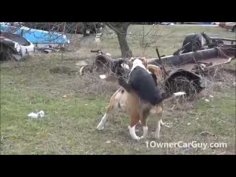 Funny Dog Breeding Video Cute Playing Beagle Puppies LOL