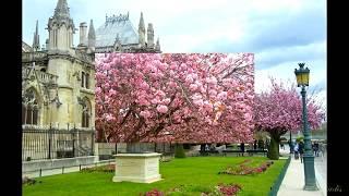 Paris. Sakura