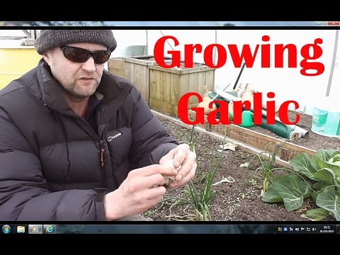 , title : 'Allotment Diary : Growing / Planting  Garlic : The importance of a cold spell or Vernalisation..