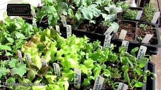 3 Tips on Acclimating Your Indoor Garden Seed Start to The Outdoors: The  Sun/UV Rays Will Harm Them