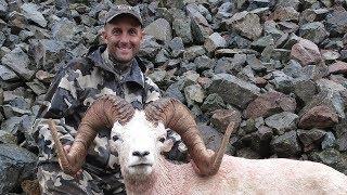 World Class Alaska Dall Sheep