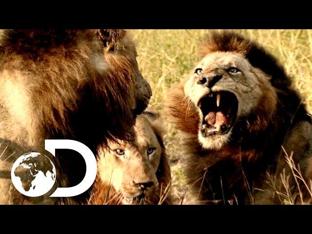 צפו מה אריות עושים כשהם רעבים: