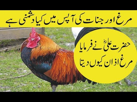 Download Interesting Facts Of Rooster In Urdu Hindi Murgh Azan Kyun
