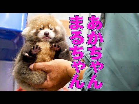 Watch MARUMI the Red Panda