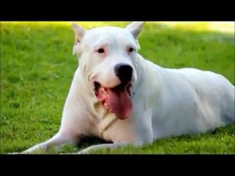 Anteprima Video Il Dogo Argentino: il signore dei cani