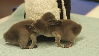 Tiny penguin babies have hatched at London Zoo!