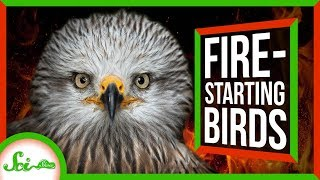 Firehawks: Nature's Arsonists