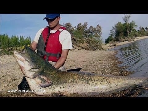 Pesca de siluros en el rio Ebro: Siluro de 2,22 metros
