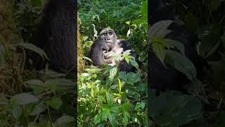 preview picture of video 'Bwindi National Park, Uganda'