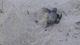 preview picture of video 'Hawksbill Turtle Hatching Makena State Park III'