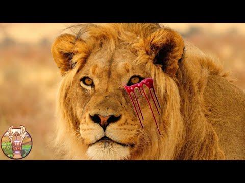 Voici ce que Fait un Lion Quand il Est Banni de sa Tribu
