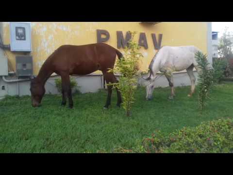 Cavalos pastando  na prefeitura de Atílio Vivacqua  o capim está muito bom