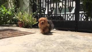 Yorki in slowmotion - i phone 6 first try