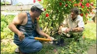 Смотреть онлайн Размножение плетистых роз отводком