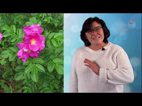 Роза морщинистая или шиповники часть 2