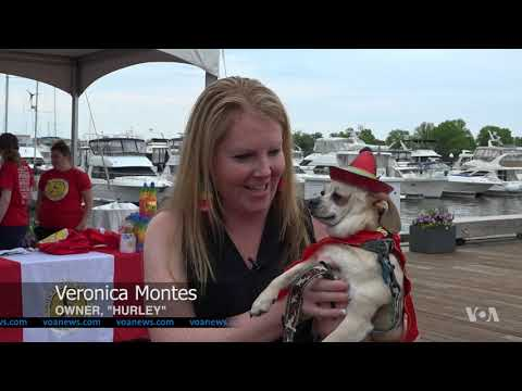 Chihuahuas Have Their Day at Washington Cinco de Mayo Festival