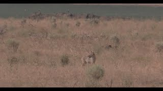 Coyote Hunting - The Beginning of Fall Season - Coyote Assassins Episode 40