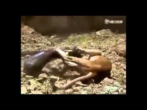 驚恐!大蟒蛇「獵殺」獅子,獅子掙扎無還口之力,結局竟